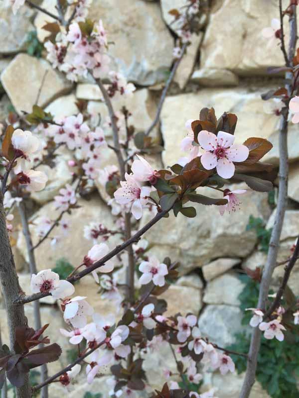 Detalle de ciruelo en floración.