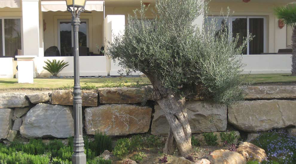 Plam bed with aromatics and olive tree